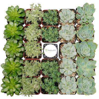 2 in. Blue/Green Collection Succulent (Collection of 40)
