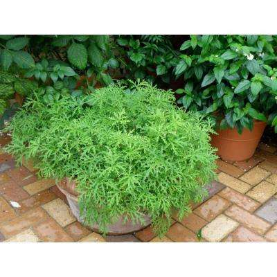 Proven Selections Citronella, Live Plant, Herb (Pack of 4)