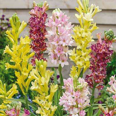Mixed Fragrant Tuberoses Bulbs (3-Pack)