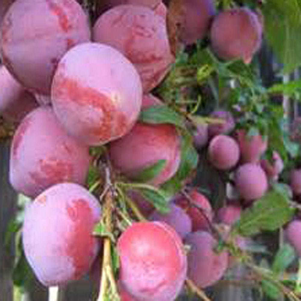 OnlinePlantCenter 5 gal. 5 ft. Burbank Plum Fruit Tree