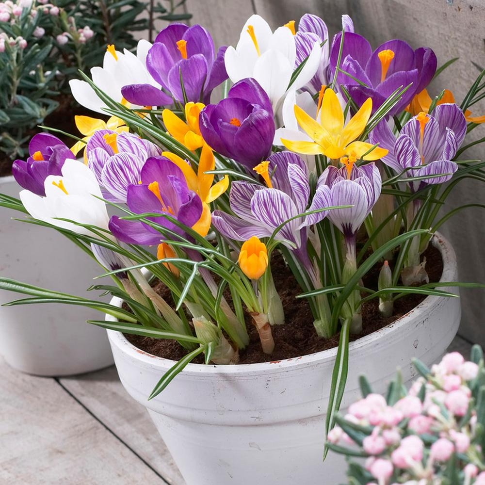 Crocus Bulbs Large Flowering Blend for Containers (Set of 25)