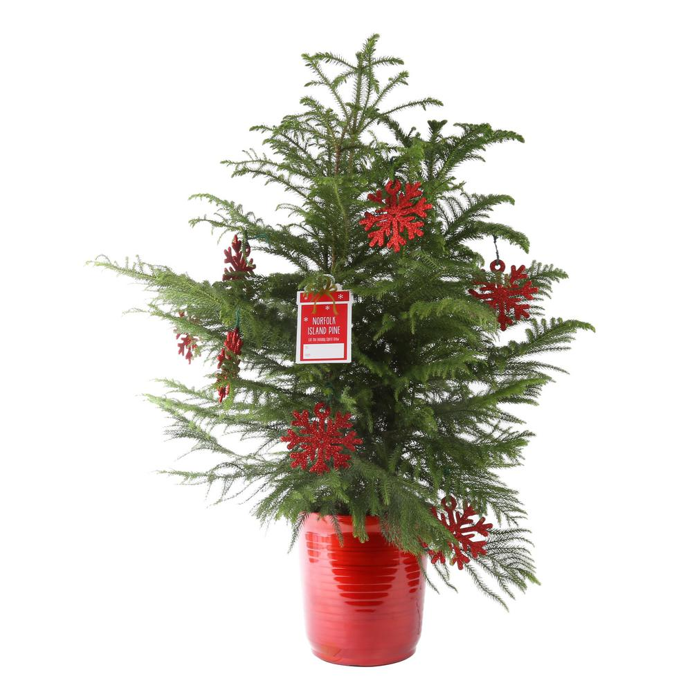 Costa Farms 10in. Fresh Norfolk Island Pine in Red Decor Pot