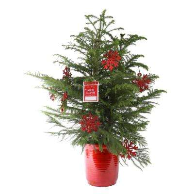 10in. Fresh Norfolk Island Pine in Red Decor Pot