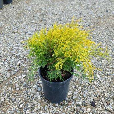 2.5 qt. Gold Mop False Cypress with Golden Yellow Weeping Foliage