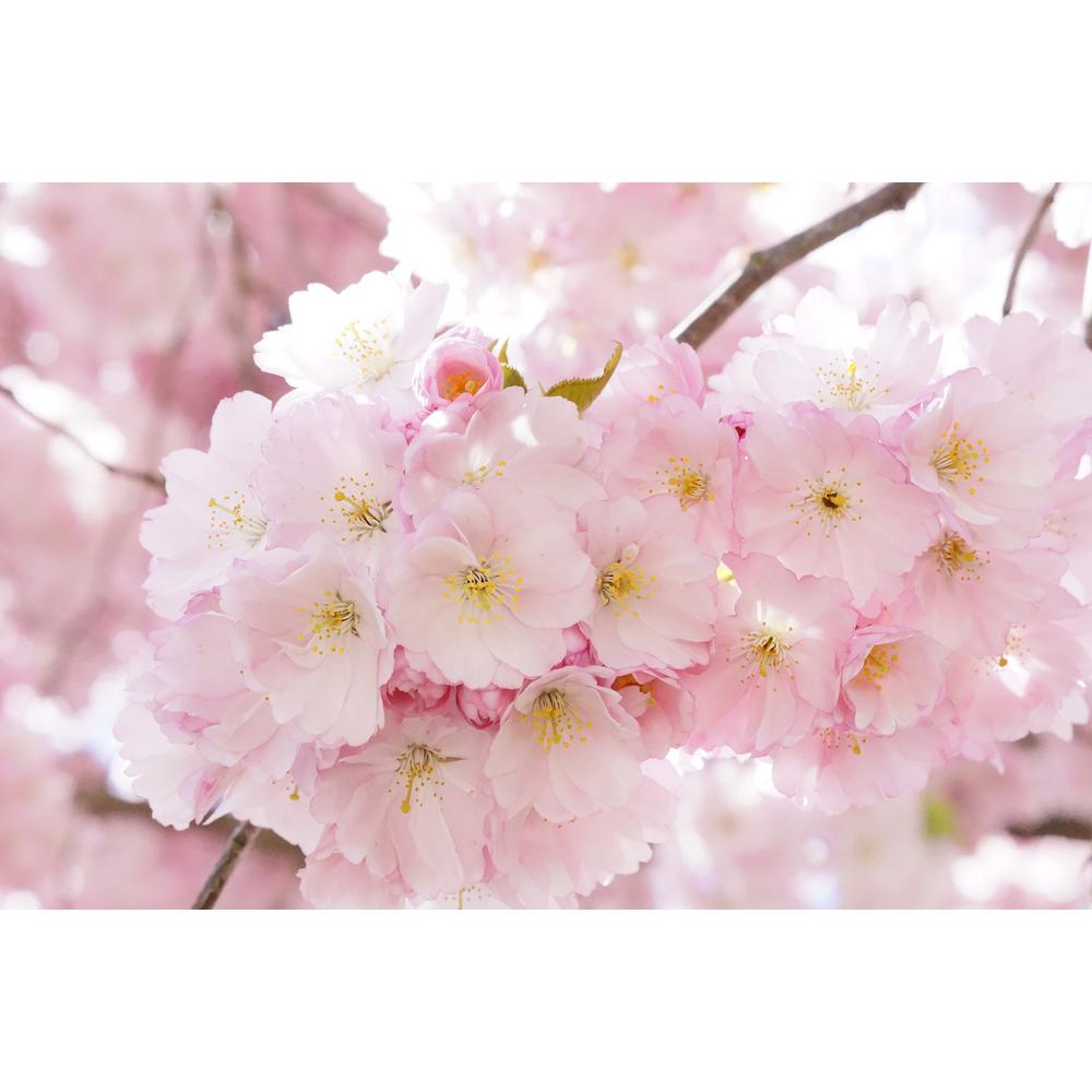 Online Orchards Accolade Cherry Blossom Tree Bare Root
