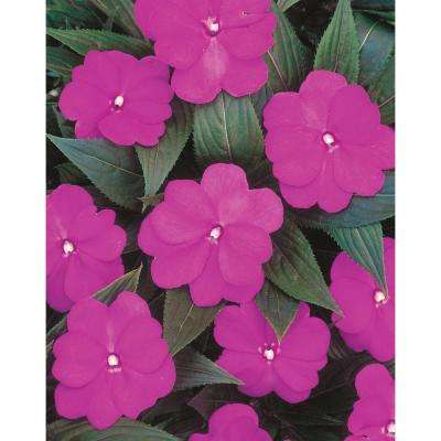 Infinity Light Purple (New Guinea Impatiens) Live Plant, Purple-Pink Flowers, 4.25 in. Grande, 4-pack