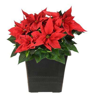 2 qt. Fresh Poinsettia in Decor Upgrade Pot (Live)