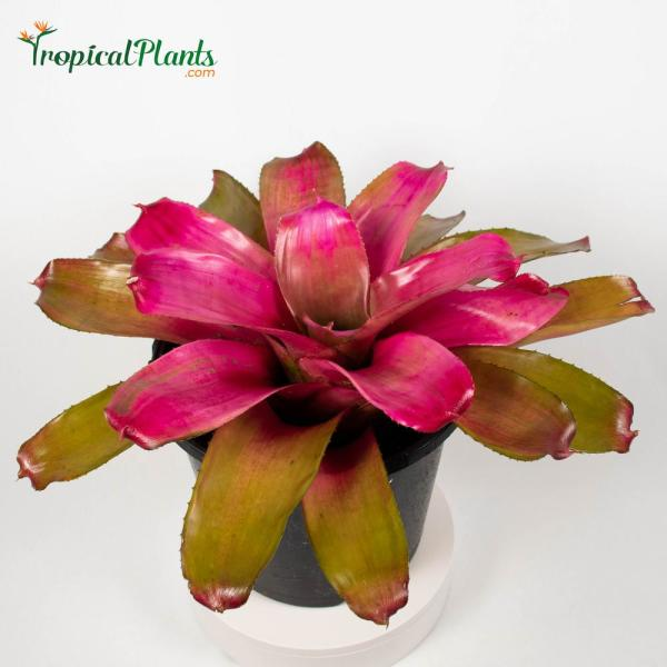 Shocking Pink Bromeliad (Neoregelia) Live Plant in 8 in. Growers Pot
