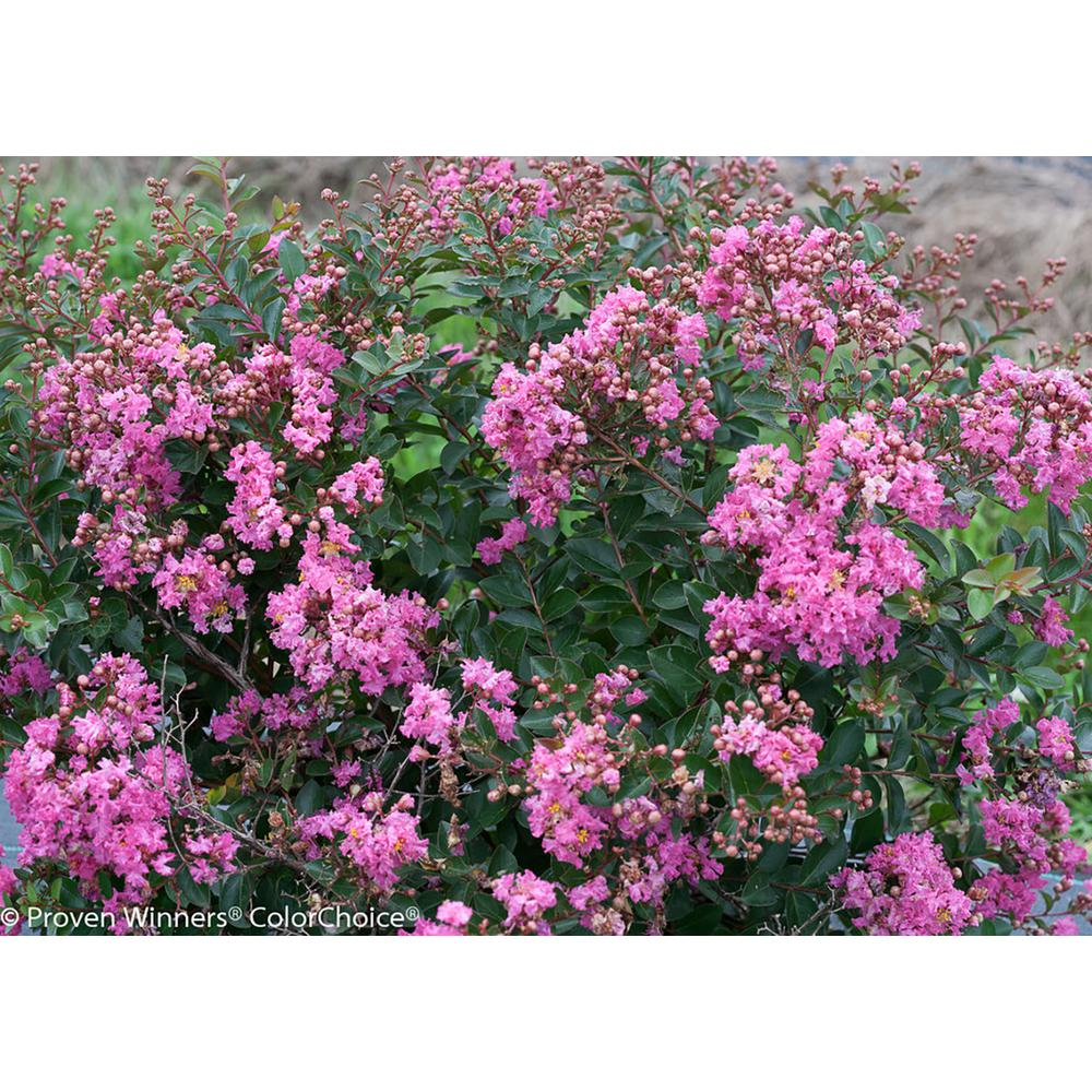 Proven Winners 1 Gal. Infinitini Brite Pink Crapemyrtle (Lagerstroemia) Live Shrub, Pink Flowers