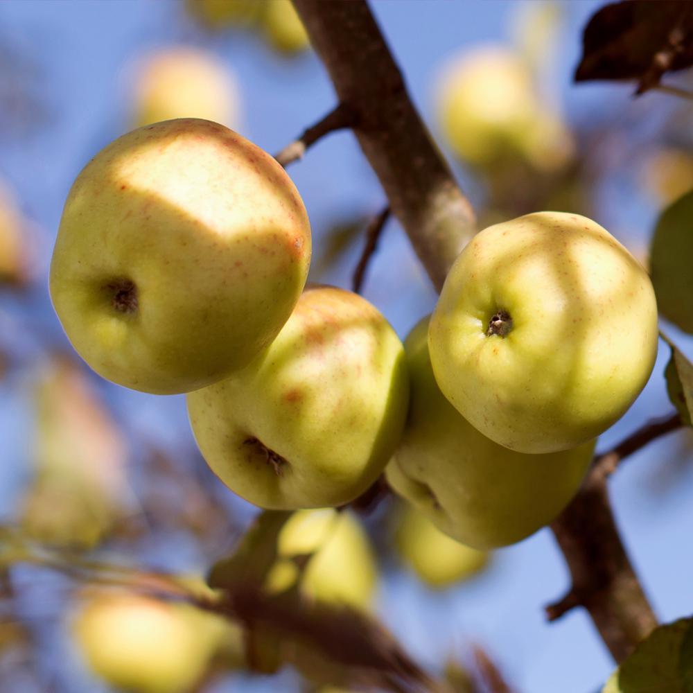 Golden Dorsett Apple Tree Appdor05g The Home Depot