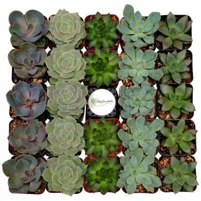 2 in. Assorted Succulent (Collection of 40)