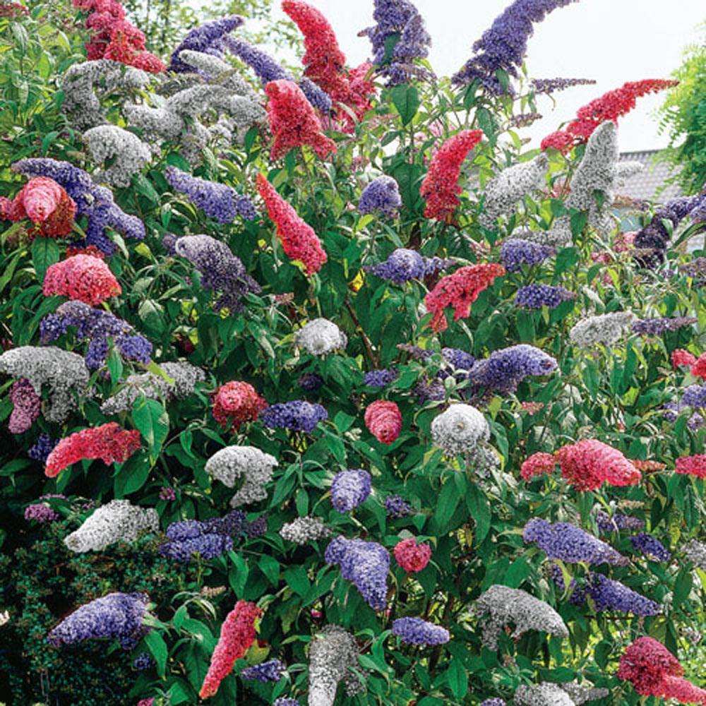 Spring Hill Nurseries 4 in. Pot Multi,Colored Butterfly Bush (Buddleia)  Live Potted Perennial Plant Red White and Purple Flowers (1,Pack)