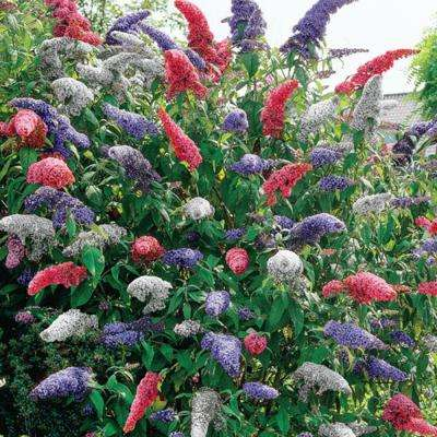 4 in. Pot Multi-Colored Butterfly Bush (Buddleia) Live Potted Perennial Plant Red White and Purple Flowers (1-Pack)