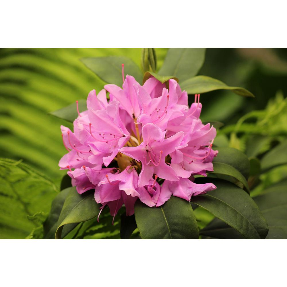 Online Orchards 1 Gal Pjm Compact Rhododendron Shrub Profuse