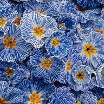 Blue Zebra Primrose Potted Plant