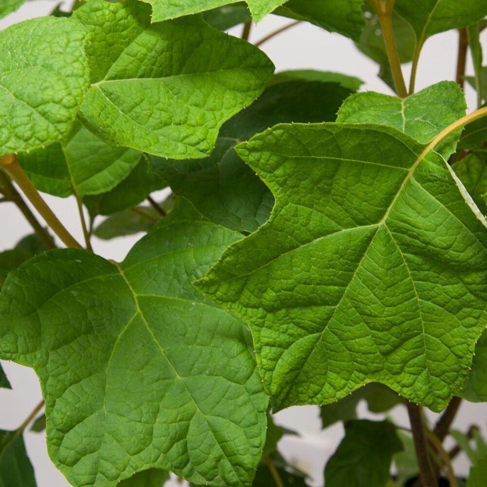 9.25 in. Pot - Semmes Beauty Oakleaf Hydrangea (Quercifolia) Live Deciduous