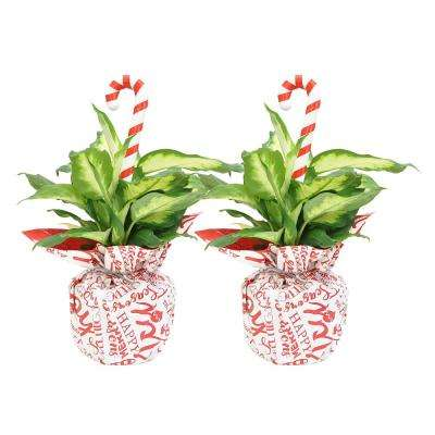 Holiday Dieffenbachia in 6 in. Grower Pot with Christmas Wrap and Pick (2-Pack)