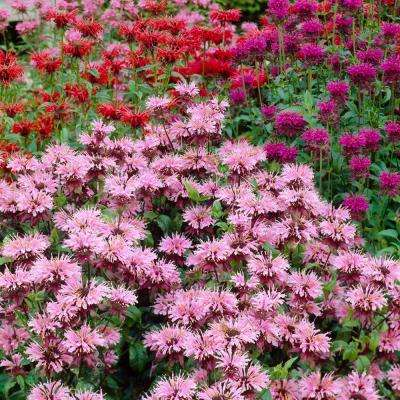 Mixed Colors Monarda Blend Roots (5-Pack)