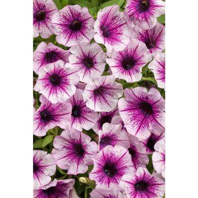 Petunia annuals garden plants flowers the home depot supertunia mulberry charm petunia live plant light pink flowers with dark pink veins 425 mightylinksfo