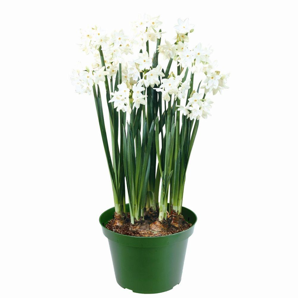 null Paper White Narcissus Ziva Kit Dormant Bulbs (4-Pack)