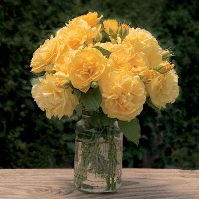 Julia Child Floribunda Rose, Live Bareroot Plant, Yellow Color Flowers (1-Pack)