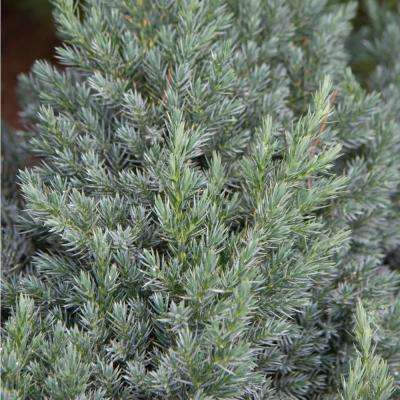 2.50 Qt. Pot Blue Star Juniper Live Evergreen Plant Blue-Silver Needled Low Growing Evergreen Shrub (1-Pack)