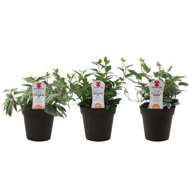 Ivy in 3.8 in. Grower Pot, Assortment (3-Pack)