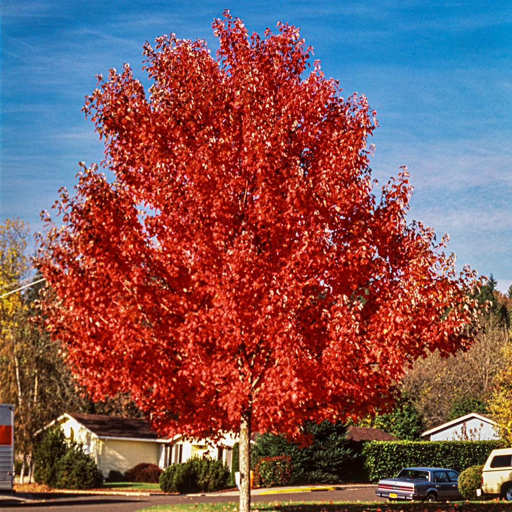 Spring Hill Nurseries Green Foliage Autumn Blaze Maple (Acer) Tree Live Bareroot Tree (1-Pack)