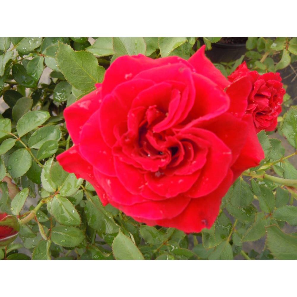 Climbing Rose Don Juan