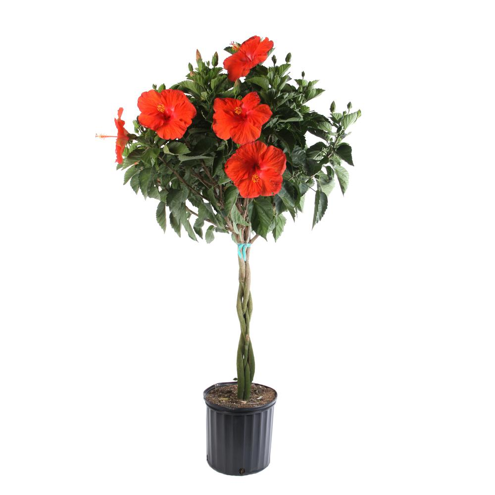 Costa Farms Braided Hibiscus Live Tropical Plant in 2 Gal  Grower's Pot-  Grower's Choice Color