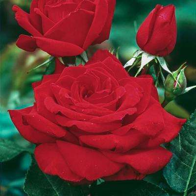 Mister Lincoln Hybrid Tea Rose Live Bareroot Plant with Red Color Flowers (1-Pack)