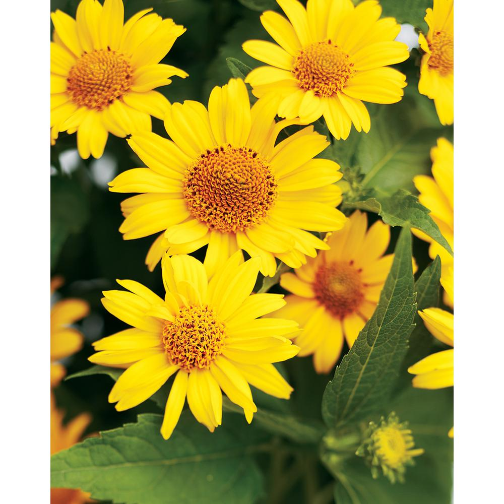 Yellow perennials garden plants flowers the home depot tuscan sun perennial sunflower heliopsis live plant yellow flowers 065 gal mightylinksfo