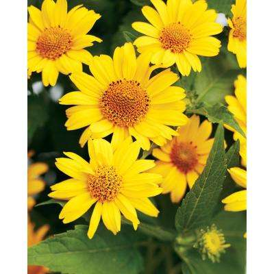 Tuscan Sun Perennial Sunflower (Heliopsis) Live Plant, Yellow Flowers, 0.65 Gal.