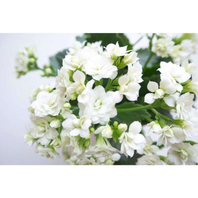 2.5 Qt. White Kalanchoe Plant Flowers in 6.33 in. Grower's Pot (4-Plants)