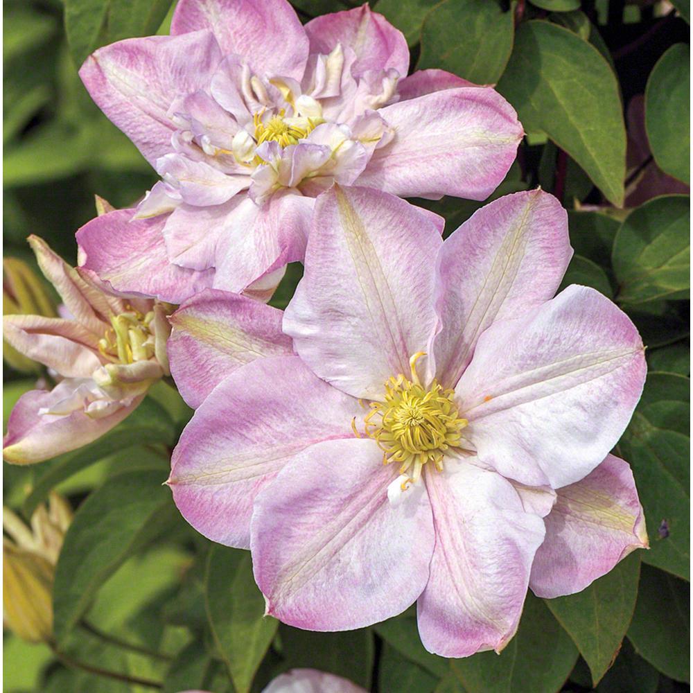 Spring Hill Nurseries Innocent Blush Clematis Live Bareroot Plant