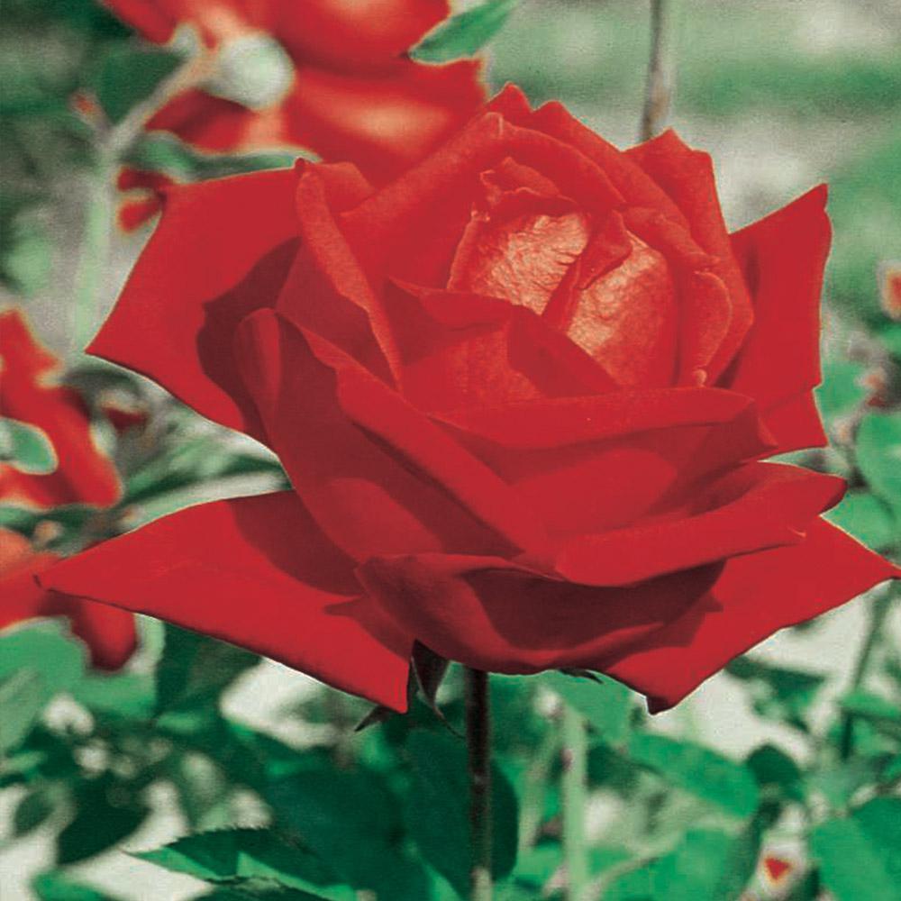 All Time Favorites Rose Mirandy