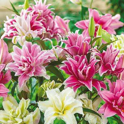 Roselily Mixed Bulbs (5-Pack)