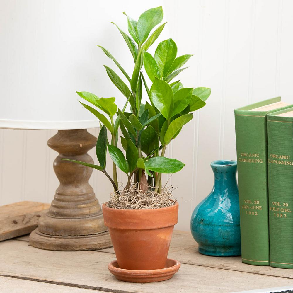 Spring Hill Nurseries Zanzibar Gem (Zamioculcas) Live Tropical Plant on pomegranate plant, philodendron plant, fairy duster plant, indoor rubber tree plant, money tree plant, topiary plant, croton plant, pot plant, jade plant,