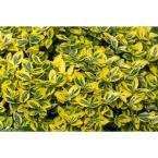1 Gal. Goldentipped Wintercreeper Euonymus Shrub Evergreen, Emerald Leaves Trimmed with Gold Edges