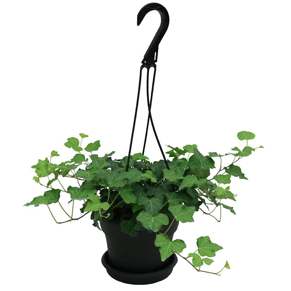 Hedera Ivy in 6 in. Hanging Basket