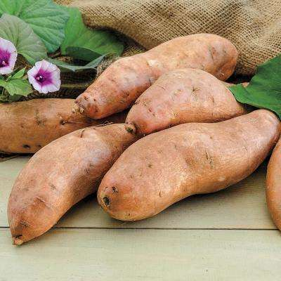 Sweet Potato Georgia Jet (12 Bare Root Plants)