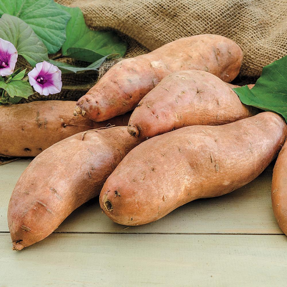 Sweet Potato Georgia Jet Bareroot Plant (12-Pack)