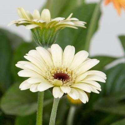 2 Gal. Cream Drakensberg Daisy With Yellow Centered Blooms, Live Perennial Plant