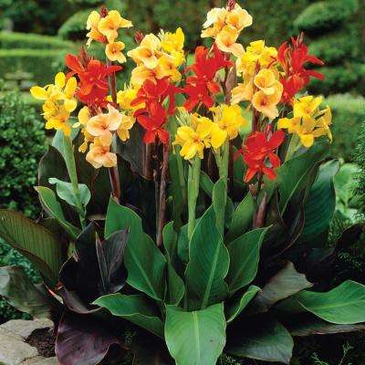 Canna Giant Tall Mixed Bulbs (12-Pack)