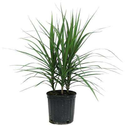 Marginata Bush in 8.75 in. Grower Pot