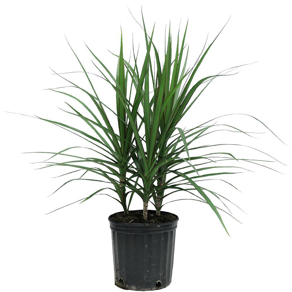 delray plants marginata bush in 8 3 4 in pot 10marg the home depot. Black Bedroom Furniture Sets. Home Design Ideas