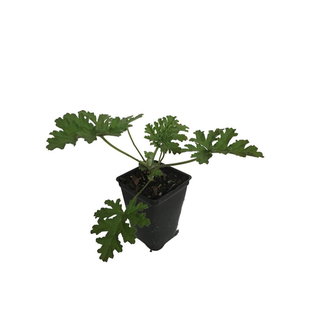 4 in. Pot Citronella Plant