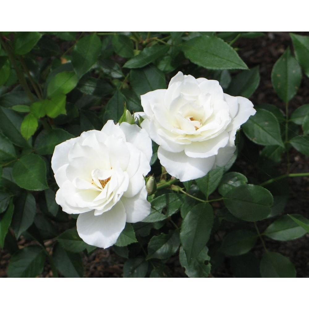 Mea Nursery All Time Favorites Rose Iceberg