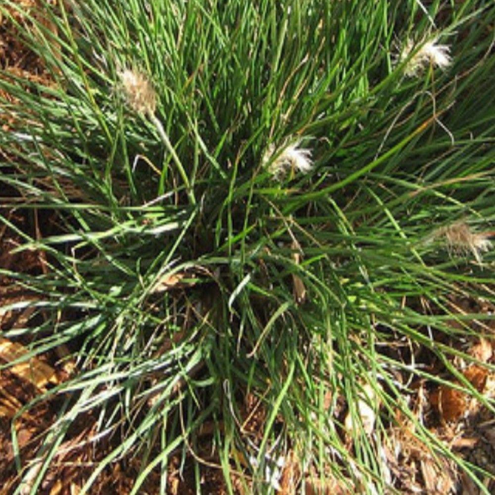 Onlineplantcenter 1 gal little bunny dwarf fountain grass for Flowering grass plants