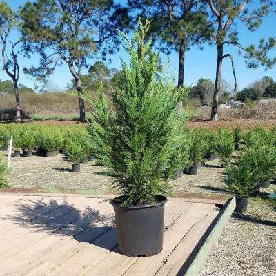 9.25 in. Pot - Leyland Cypress, Live Evergreen Tree, Rich Green Foliage